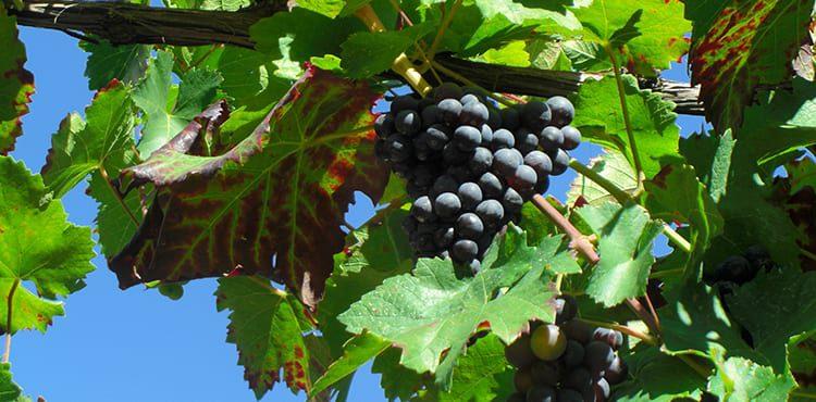 Vindruvor i Cochem vid floden Mosel