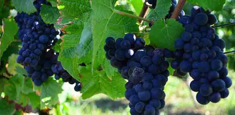 Vindruvor i Bourgogne