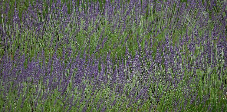 lavendel_provence_luberon