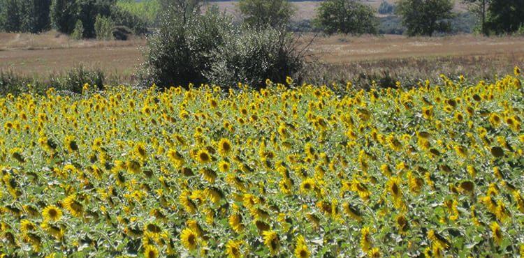Ett solrosfält i La Rioja