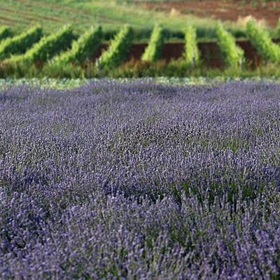Lavendel i Istrien